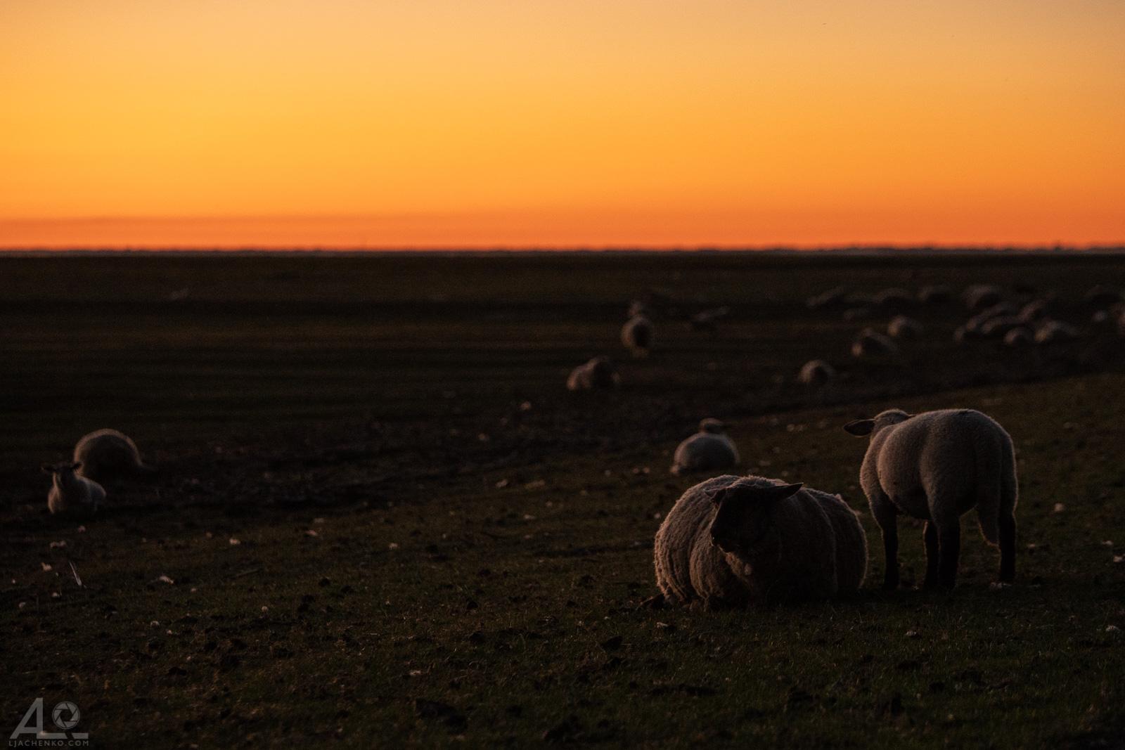 Nordsee, Schafe am Deich